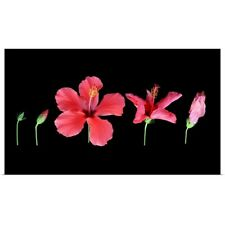 Poster Print Wall Art entitled Path of red hibiscus flower from beginning to end
