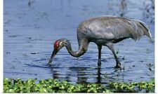 Poster Print Wall Art entitled Sandhill Crane (Grus Canadensis) In Water