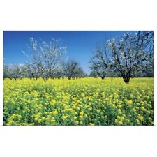 Poster Print Wall Art entitled Apple trees in a mustard field, Napa Valley,