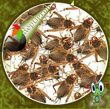 Live Crickets - Large FREE SHIPPING  by Reptigrub 500, 1000, 1500, 2000