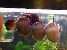 6X SNAILS - RARE ADULT BREEDING GROUP OF GIANT APPLE SNAILS