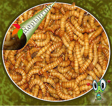 250,500 ,1000, 2000, 5000,10,000, 20,000 Live Mealworms Free Shipping