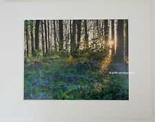 """""""Bluebell Woods"""", Pembrokeshire  Limited Edition Mounted Photographic Print"""