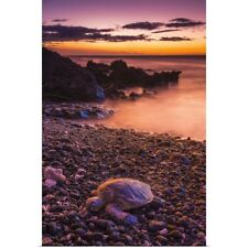 Poster Print Wall Art entitled Hawaiian green sea turtle on a lava beach at