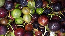 Missouri Wild Gooseberry SEEDS Ribes Missouriense Fruit NON GMO heirloom USA