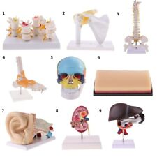9 Options Anatomical Medical Human Organ Kit Model Lab Supplies Teaching Tools