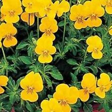 Outsidepride Viola Yellow Perfection Flower Seed