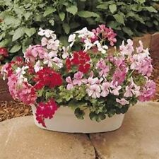Outsidepride Ivy Leaf Geranium Mix Flower Seeds