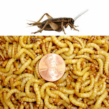 Live Mealworms & Crickets COMBO- 1000  Mealworms & 1000 Crickets (all sizes)