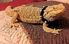 Lil' Bestie Leather Studded Collar For Bearded Dragons Black or Red