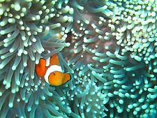 Australia  Nemo  fish reef coral photo print canvas poster seascape