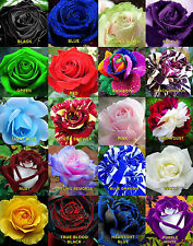 50 x Rare Multi-Colors Rainbow Rose Flower Seeds Garden Plant, Other Colors
