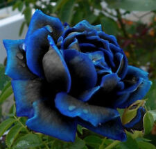 Midnight Blue Rose Flower Seeds, Rare Garden Plant, UK Seller