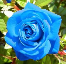 Rare Light Blue Rose Flower Seeds Garden Plant, Other Colours, UK Seller