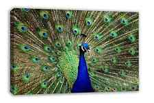 STUNNING PEACOCK FEATHERS ANIMAL CANVAS WALL ART 30X18""