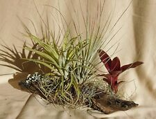 2 TILLANDSIA & MINI  BROM on log DESK, WINDOWSILL  or PATIO a miniature garden