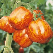 Red-Yellow Speckled Tomato - Striped Stuffer - 10/20 Organic Vegetable Seeds