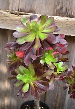 Aeonium Arboreum 'Velour'- Succulent Plant with Roots