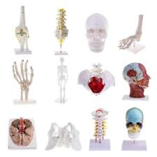Lifesize Medical Human Body Skeleton Anatomy Model Toy Lab Supplies Educative
