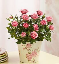 Classic Budding Rose-Plants Gifts