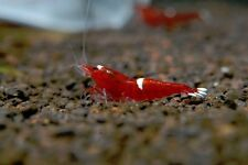 《Joe's Aqua》Taiwan Bee Shrimp Wine Red Red King Kong serial CRS