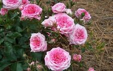 Rose Drift Sweet Meiswetdom Well-Drained Disease Resistant Drought Tolerant Pink