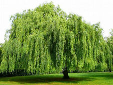 Weeping Willow Tree- Salix Babylonica, Fast Growth, Shade Tree