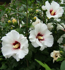 "ROSE of SHARON  ~White w/Red Heart~ ""Hibiscus Syriacus"" Perennial SEEDS"