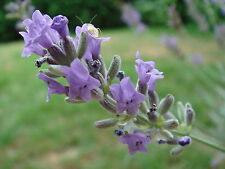 100% Pure and Natural Spike Lavender Flower Oil By Agromusk