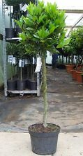 Pair of Bay Plaited Standards : 7.5L Pot : 85-95cm High (exc pot) : 2x Laurus
