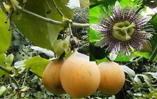 40-100+ Passiflora ligularis world's best tasting passion fruit really sweet!