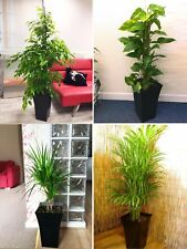 1 Large Indoor Tree @ Milano Gloss Pot Office House Conservatory Evergreen Plant
