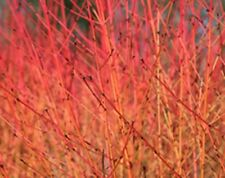 3ft+ tall Hedging Dogwood bare root hedge plants, plant + free guide!
