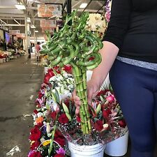 Live Bamboo Plant Curly Bamboo, 5 or 6 in bunch
