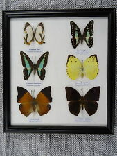 6 Beautifully Framed Butterflies Picture Genuine Specimens Taxidermy Real UK 02