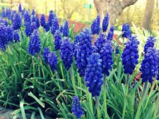 Grape HYACINTHS ~Masses of vivid early Spring Blue blooms~ Bulbs-Perennial