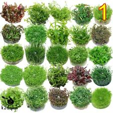 Live Aquarium Plants - IN VITRO - Aquatic Tropical Fish Aquascaping Tank Carpet