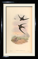 The Eastern Palm Swift. vintage framed print