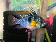 "Breeding Pairs German Blue Rams""FREE SHIPPING"" Ramirezi/Dwarf Cichlid"