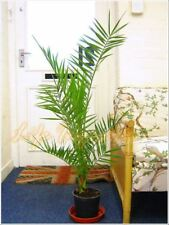 Phoenix Roebelenii Pygmy Date Palm @ Pot Indoor Outdoor Tree Ornamental Plant