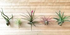 5 Tillandsia air plant sampler pack #7 - indoor outdoor houseplant