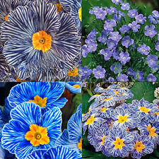 120Pcs Zebra Blue Purple Flower Seeds Blue Evening Primrose Seeds Plant Garden