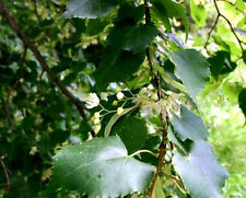 3ft Lime bare root hedge plants or trees, Tilia, hedging plant + free guide!