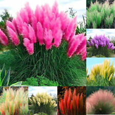 2000 SEEDS ORNAMENTAL Colorful GRASS PAMPAS Seeds Cortaderia selloana