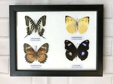 4 FRAMED BUTTERFLIES - REAL GENUINE SPECIMENS - UK SELLER - TAXIDERMY INSECT