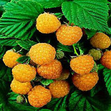 50 Pcs Rare Delicious Raspberry Fruit Seed Sweet Juicy Raspberries Plant Clever