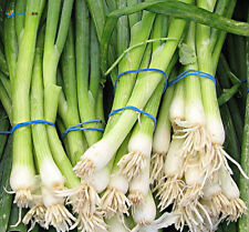 * Green Onions - Evergreen White Bunching Onions Seeds - Garden Vegetable Seed *