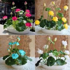 10 pcs/pack Bowl Lotus Seed Hydroponic Plants Aquatic Flower Seeds Water Lily