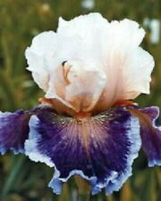 Iris Roots Bulbs Flowers Rare Perennial Resistant Fragrant Plant Beautifying Hot