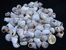 "CRAFT SHELLS - Rock Snail 1/2"" - 3/4"" Seashells - Hermit Crab - FREE ship!"